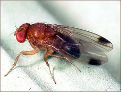 Das Kirschessigfliegen-Männchen ist an den Flügelflecken erkennbar. Foto: John Davis