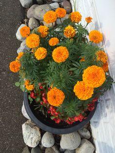 My garden pot Marigolds mixed with Begonias