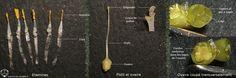 Détails des organes reproducteurs mâle et femelle des fleurs de Tillandsia tenuifolia