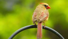 female cardinal - isn't she lovely?