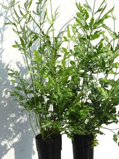Silver Lace Fern (pteris ensiformis evergemiensis) – Urban Perennials Types Of Fern Plants, Foliage Plants, Types Of Soil, Ferns For Sale, Lower Lights, Dish Garden, Leaf Coloring, Large Pots, Plant Care