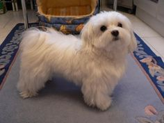 His fog is sociopolitical cute! Teacup Puppies, Cute Puppies, Dogs And Puppies, Doggies, Shih Tzu, Coton De Tulear Dogs, Baby Animals, Cute Animals, Malteser