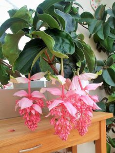 Medinilla - genus of perennial plants of the family melastomataceae. Flowers - Houseplants - Комнатные растения - Community - Google+