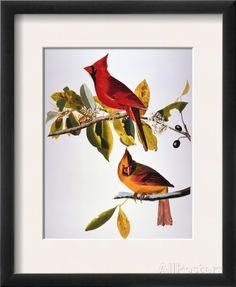 Audubon: Cardinal Framed Giclee Print by John James Audubon at AllPosters.com