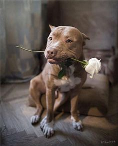 The amazing pit bull! One day I will have a pit bull of my own! Rottweiler, Love My Dog, Pitbull Terrier, Beautiful Dogs, Animals Beautiful, Amazing Dogs, Perros Pit Bull, Pitbulls, Cutest Animals
