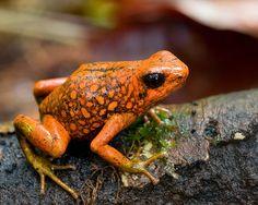 Oophaga sylvatica, Little Devil Poison Frog, in habitat. IUCN Redlist: Near Threatened. Provincia Esmeraldas, Ecuador