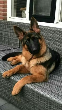 Wicked Training Your German Shepherd Dog Ideas. Mind Blowing Training Your German Shepherd Dog Ideas. Cute Dogs And Puppies, Big Dogs, I Love Dogs, Giant Dogs, Baby Puppies, German Shepherd Puppies, Baby German Shepherds, Blue German Shepherd, Beautiful Dogs