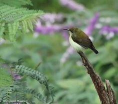 Crimson backed sunbird female