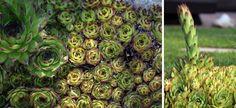 Nedocenené krásky. Ak si všade nastrkáte skalné ruže, neobanujete. Prečítajte si prečo!   Záhrada.sk Cactus