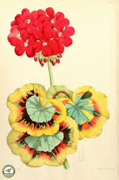 Tricolor-leaved geranium. Pelargonium hort. Meteor. The Floral Magazine v.6 1867