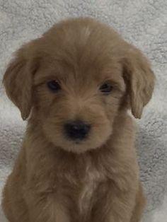 Purebred Labrador Retriever Puppies Dogs Pets And