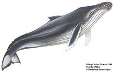 ballena jorobada, megaptera novaengliae