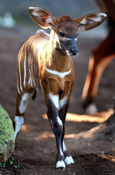 Bouncing Bongo!! by © William West, AFP/Getty Images, via gettyimages.com. A 2-week-old Eastern Bongo calf romps around at Sydney's Taronga Zoo. Bongos are critically endangered with as few as 75 remaining in small groups of 6 to 12 animals in their Kenyan upland range. Bongos are one of the largest species of antelope in the world and are recognised by their striking russet colour and large antlers which extend over their backs.