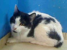 Sweet black and white cat named Joey waiting to be rescued from the NYC shelter. He needs a miracle tonight.