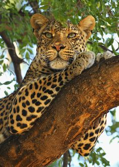 Africa's Big 5 Facts and Information: African Leopard (Panthera pardus)