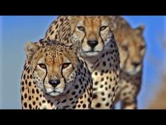 Life (BBC TV series) Episode 7: Hunters and Hunted | David Attenborough ...