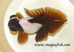 Chinese Goldfish Butterfly Manufacturer, Supplier & Exporter - ECPlaza
