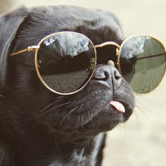 just accept the fact that you will never be as cool as this pug wearing sunnies