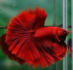 808 Super red hawk OHM male from Aquastar71