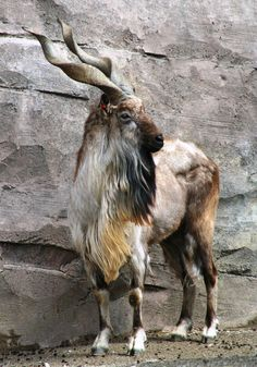 Capra falconeri/Markhor Goat