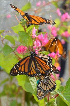 ˚Monarch Butterfly