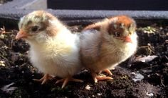 Raising chickens doesn't need to be expensive. From building the coop to feeding the flock, we've found plenty of ways to save money.
