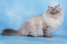Siberian cat Neva Masquerade