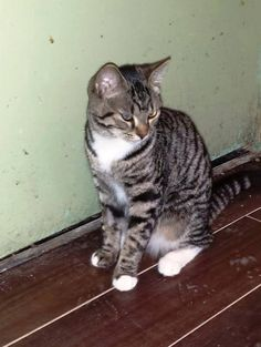 #Montreal ~ AVAILABLE FOR ADOPTION - LILY  Lily is a teenage tiny tabby. She is about 8-10 months old, a female, and has already been spayed and vetted. Also in need of a foster home!  Please e-mail catwhisperer@sympatico.ca if interested in adopting Lily! <3 www.facebook.com/cause4paws