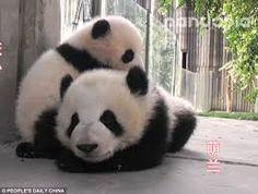 ผลการค้นหารูปภาพสำหรับ Panda Meng lan