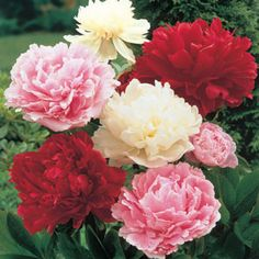 Peony Mixture Super Sak - Purchased Fall 2014. Love Peonies.