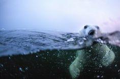 Polor Bear by Paul Souders