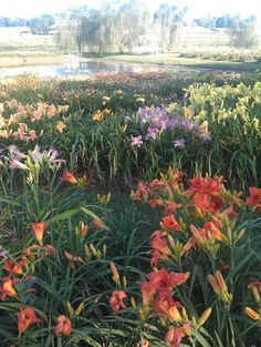 The Ultimate Daylily Garden!