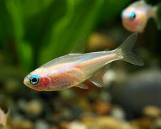 GOLD NEON TETRA: size 1.6 inches, show their best colors in neutral -slightly acidic water; temperature 68F-78F; enjoy a planted aquarium; timid fish best kept with other smaller or shy species; Tank mates- kuhli loaches, other colors of neons, cherry barbs, platies, scarlet badis, ghost shrimp, other smaller tetras, rasboras, cherry shrimp, peacock gudgeons, sparkling gourami, snails; Tags- albino, white, nano, tropical fish, pet, aquarium.