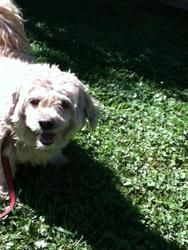 Moppet is an adoptable Spaniel Dog in Newington, CT. This sweet older girl has no idea how she came to be alone, but would love to go home with a wonderful familyl. She is very affectionate and loves...