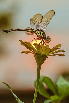 Sunset dragonfly - by iwan pruvic. Extremely beautiful nature photography of dragonfly sitting on a daisy flower with the sun in Bokeh focus right behind the flower making it and the insect glow. Beautiful Bugs, Beautiful Butterflies, Amazing Nature, Beautiful Pictures, Macro Fotografie, Fotografia Macro, Beautiful Creatures, Animals Beautiful, Dragonfly Art