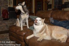 Actual photos of us behaving . . . sort of. #dogs #siberianhusky #husky