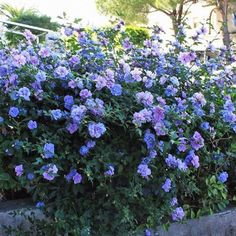 Blue Chiffon® Rose of Sharon Plants for Sale Next Garden, Dream Garden, Rose Of Sharon Tree, Shrubs For Borders, Types Of Shrubs, Rose Varieties, Growing Roses, Planting Roses, Garden Oasis