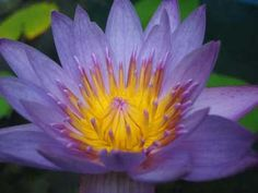 Nymphaea caerulea Valued since glorification from the Egyptians in ancient…