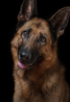 What? - Portrait of German Shepherd