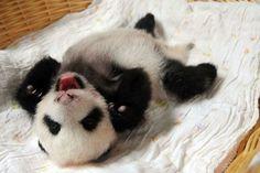 Bebês pandas aparecem em público pela primeira vez na China
