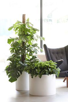 Die Monstera tankt Sonnenlicht und verbreitet dabei selbst Wärme im Raum Ficus, Interior Design Books, Residential Interior Design, Indoor Trees, Indoor Plants, Yucca, Corn Plant, Green Office, Everything
