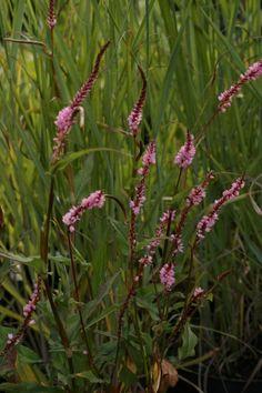 amplexicaulis Pink Elephant (kertepileurt) En miniudgavetil foran i bedet eller til en lille have   Blomstring: juli-okt. Højde: 40 cm Lysforhold: sol