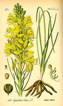 """Affodillgewächse – Wikipedia  """"Die #Affodillgewächse ( #Asphodeloideae ) sind eine Unterfamilie der Familie der Grasbaumgewächse (Xanthorrhoeaceae) in der Ordnung der Spargelartigen (Asparagales) innerhalb der Einkeimblättrigen Pflanzen (Monokotyledonen). Sie wurden früher der Familie der Liliengewächse (Liliaceae) zugeordnet. Einige Arten sind Arzneipflanzen – so Aloe vera. Viele Arten und ihre Sorten werden als Zierpflanzen in Parks, Gärten und Räumen genutzt."""" #Aloo_vera #Aloe_vera"""