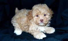 Female maltipoo puppy available...see all of our available puppies