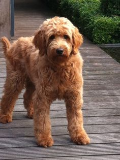 In this article, we will be discussing Goldendoodle grooming. We will outline the most important steps on how to groom a Goldendoodle, and we will even touch a little bit on Goldendoodle grooming styles. Goldendoodle Haircuts, Goldendoodle Grooming, Dog Haircuts, Mini Goldendoodle, Dog Grooming, Goldendoodles, Labradoodles, Cockapoo Haircut, Goldendoodle Full Grown