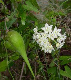 Climbing Milkweed, Fringed Twinevine