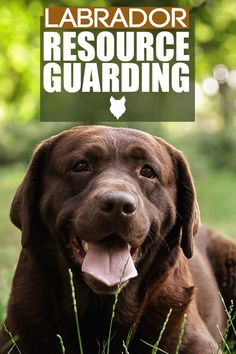Resource Guarding happens when a dogs behaviour is off, such as growling or biting. This can happen in any breed but today we will discuss what happens and what to do with your Labrador. Best Guard Dog Breeds, Best Guard Dogs, Best Dogs, German Dog Breeds, Large Dog Breeds, Large Dogs, Dog Breed Info, Labrador Retriever Dog, Dog Behavior