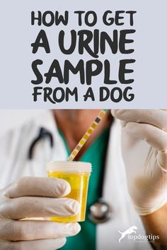 Learning how to get a urine sample from a dog is a must for every pet owner. It's better to learn before you actually need this information. Dog Health Tips, Good Advice, Dollar Stores, Things To Think About, Puppies, Learning, Pets, Cubs, Studying