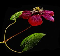 ~~Clematis by Joachim G Pinkawa~~ Amazing Flowers, Love Flowers, My Flower, Dogwood Trees, Trees And Shrubs, Nothing But Flowers, Sweetest Devotion, Rhododendron, Virtual Flowers