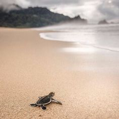 A regram from our friends Lonely Planet Traveller Magazine, of a (adorable!) recently hatched baby turtle heading off on its maiden voyage at #Sukamade beach, Meru Betiri National Park in eastern #Java. On this same beach, olive ridley, hawksbill, leatherback and green turtles all nest.   Captured for #lonelyplanet's magazine by Phil Lee Harvey for a recent 2015 edition feature.  #wildlife #travel #journey